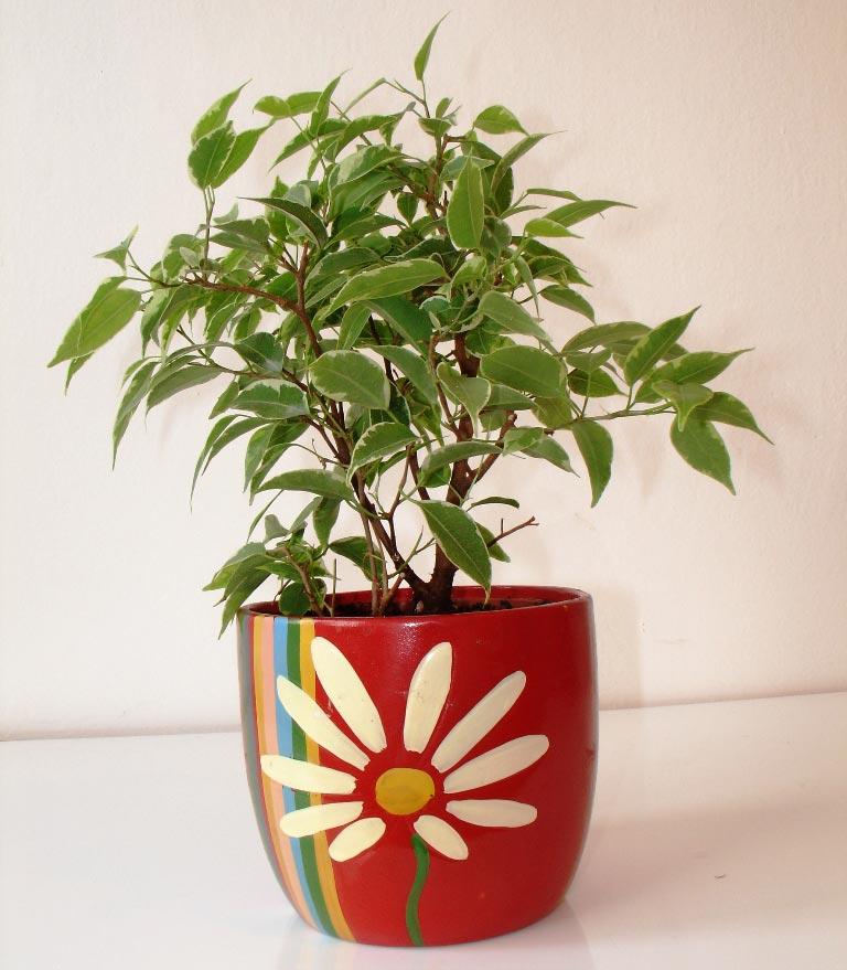 Ficus benjamina Plantas de interior duras