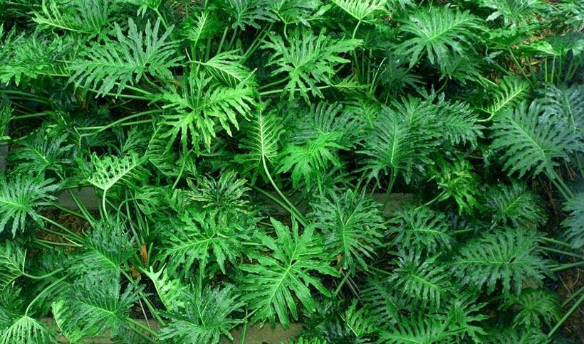 Filodendro for Planta filodendro