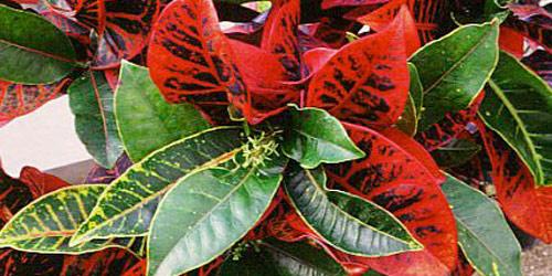 Plantas de interior: Croton