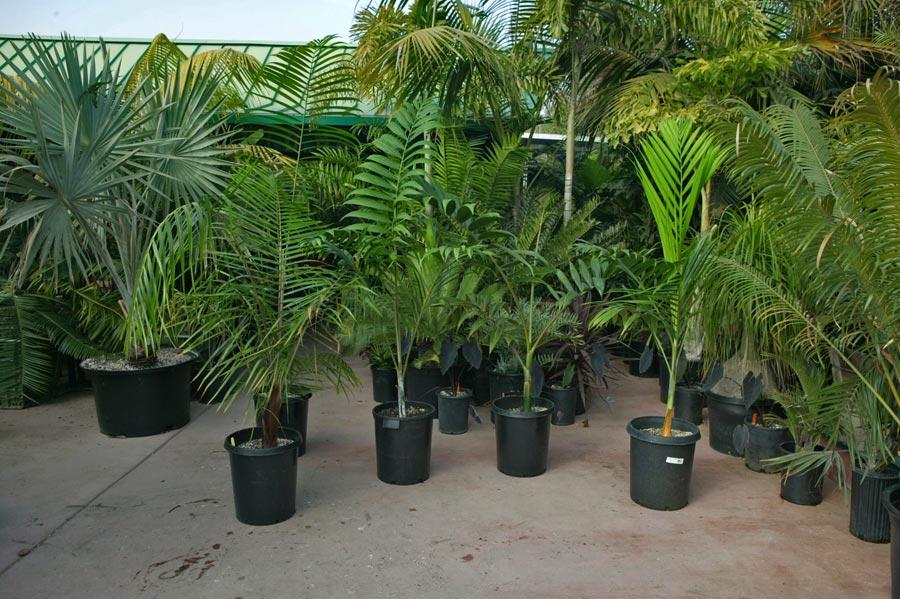http://plantas-interior.florpedia.com/images/plantas-interior-kentia.jpg