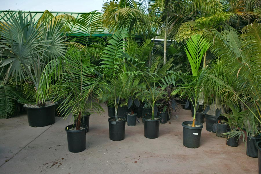 Kentia for Planta tropical interior