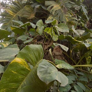 Plantas de interior: Scindapsus aureus