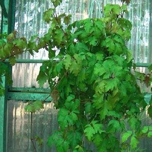 Plantas de interior trepadoras: Cissus Rhombifolia