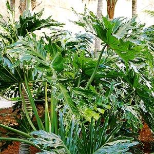Plantas de interior trepadoras: Philodendron