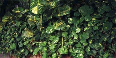 Potos. Scindapsus aureus