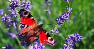 Lavandas, plantas que atraen mariposas