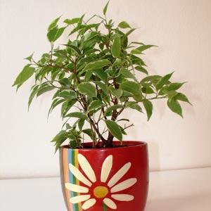 Ficus Benjamina. Plantas de interior