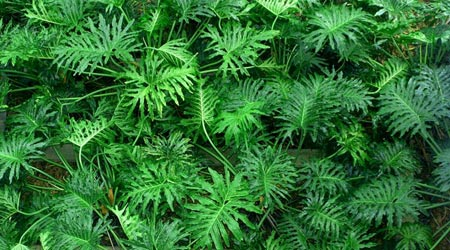Philodendron. Planta trepadora de interior