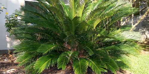 Plantas de interior: Cyca Revoluta