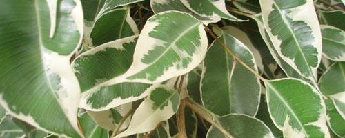 Plantas de interior. Ficus Benjamina