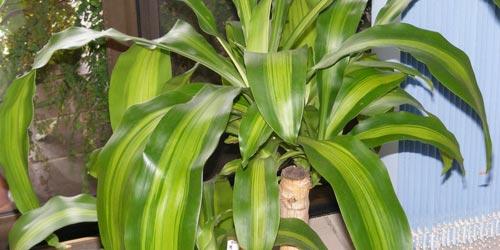 Plantas de interior. Tronco de Brasil